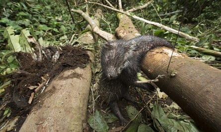 Malayan porcupine killed in a snare in Malaysia.