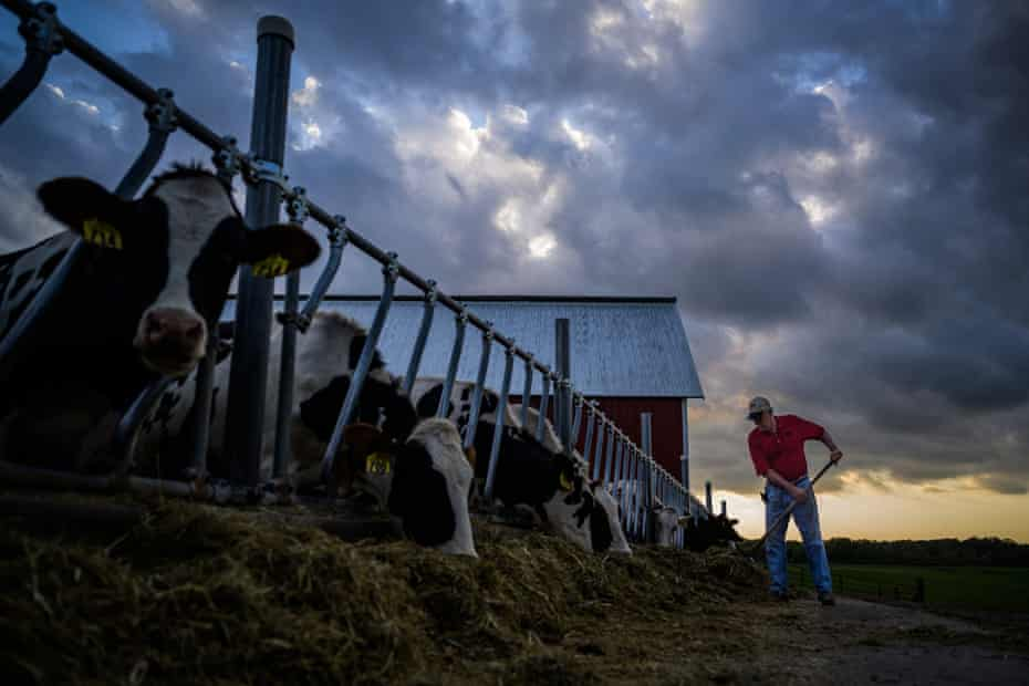 Fran Miron feeds his cows on at his farm in Hugo, Minnesota, September 2019