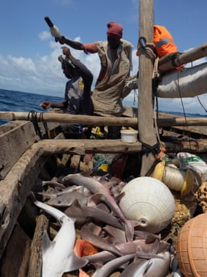 Sharks are caught off the coast of Tanzania