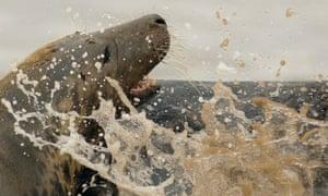 Grey seal on sand.
