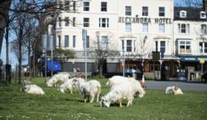 A herd of goats in Llandudno, Wales 31 March 2020.