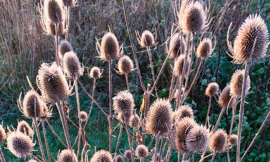 Teasel seed heads.