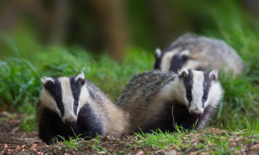 Badgers on a grassy field