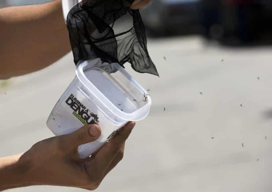 A technician releases mosquitoes that are infected with the dengue-blocking bacteria Wolbachia in the Tubiacanga neighbourhood of Rio de Janeiro, Brazil.