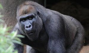 Gorilla Otana
