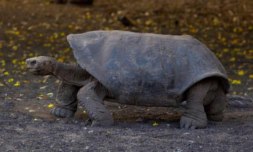 Española giant tortoise