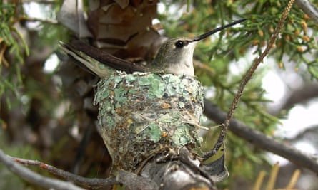 A female hummingbird and her nest.