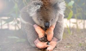 An koala injured in the bushfires sits at the Kangaroo Island Wildlife Park