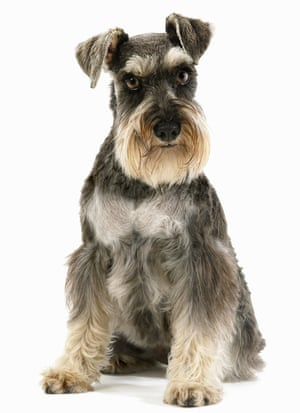 Miniature schnauzer: like a moustachioed German.