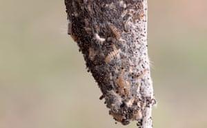 A silk nest of oak processionary caterpillars (Thaumetopoea processionea) hangs from a oak tree in Gelsenkirchen, Germany.
