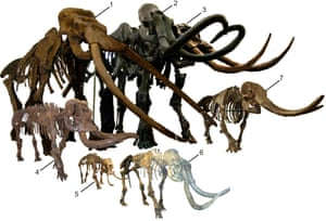 Mainland proboscideans: 1. Palaeoloxodon antiquus (Museo di Paleontología, University of Rome, Italy) 2. Mammuthus columbi (American Museum of Natural History) 3. Stegodon zdanskyi (Taylor Made Fossils, U.S. Insular proboscideans: 4. Palaeoloxodon 'mnaidriensis' (Museo di Paleontología e Geología G.G. Gemmellaro, Italy ) 5. Palaeoloxodon falconeri (Naturmuseum Senckenberg, Germany) 6. Mammuthus exilis (Santa Barbara Museum of Natural History, U.S. ) 7. Stegodon aurorae (Taga Town Museum, Japan)