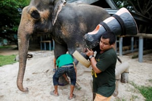 Founded in 1993, the Friends of the Asian Elephant Foundation hospital was the world's first elephant hospital and currently has 17 patients