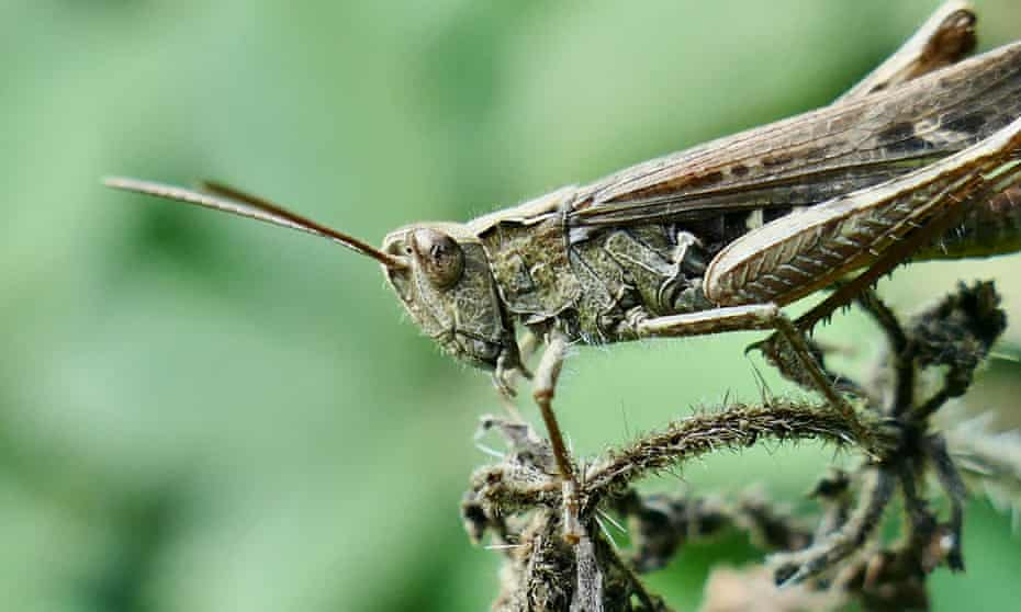 A common field grasshopper tries to blend in to his environment.