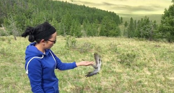 Onon being released after being fitted with his tag. Photograph: Mongolia Cuckoo project/Birding Beijing