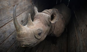 A female eastern black rhino stands inside a crate, waiting to be transported to Kenya's Tsavo East national park.