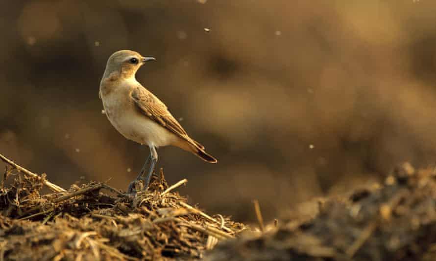 Northern wheatear bird