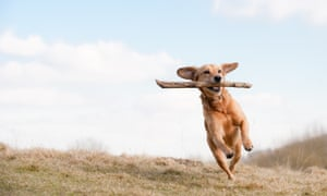 Dog running across grass field with branch in mouth.