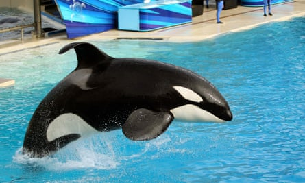 A killer whale performs at SeaWorld in San Diego