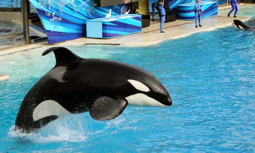 An orca at SeaWorld in San Diego