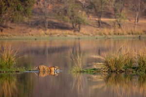 A young Bengal tigress crossing the water towards a narrow bank in Rajbagh Lake, Ranthambhore national park