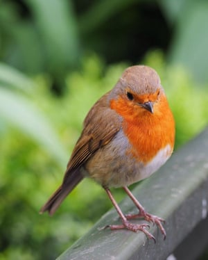 Small Of Stature Big Of Heart Readers Photos Of Robins In The Uk Environment The Guardian