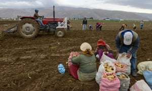 Syrian workers picking potatoes in Lebanon.