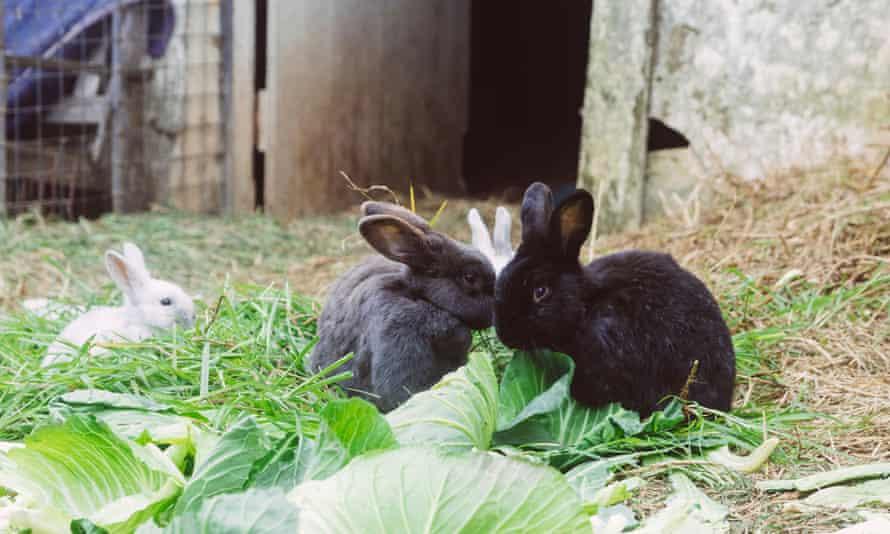 rabbits eating lettuce