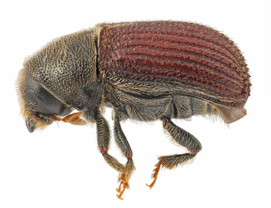 Phloeosinus punctatus, the beetle responsible for the death of the trees, is just 3-4mm long.