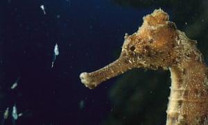 A sea horse feeding on tiny shrimp.