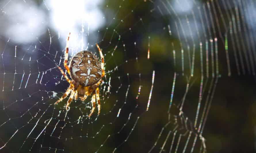 A diadem spider (Araneus diadematus).