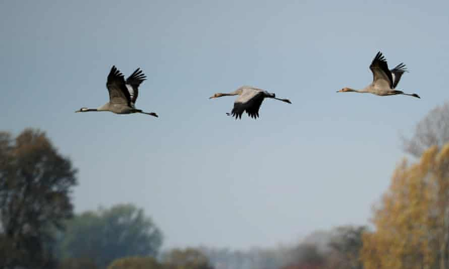 Cranes sighted near Linum, north eastern Germany.