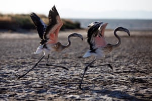 Two flamingo chicks in the Lagoon in Fuente de Piedra, Malaga, Spain. Scientists and nature lovers are among 500 volunteers taking part in a project to put identifying rings on the birds. This year 7,472 chicks were born, three times more than the previous year