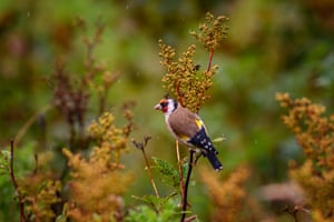 A goldfinch. The sheep-free enclosures encourage biodiversity.