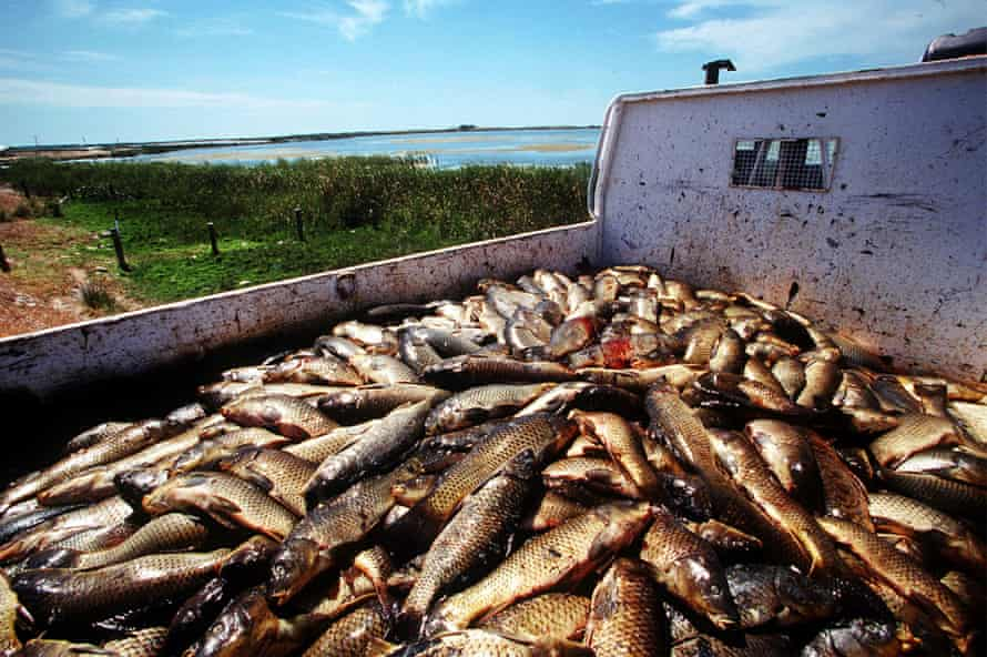 A truckload of dead carp collected from the Murray river in South Australia