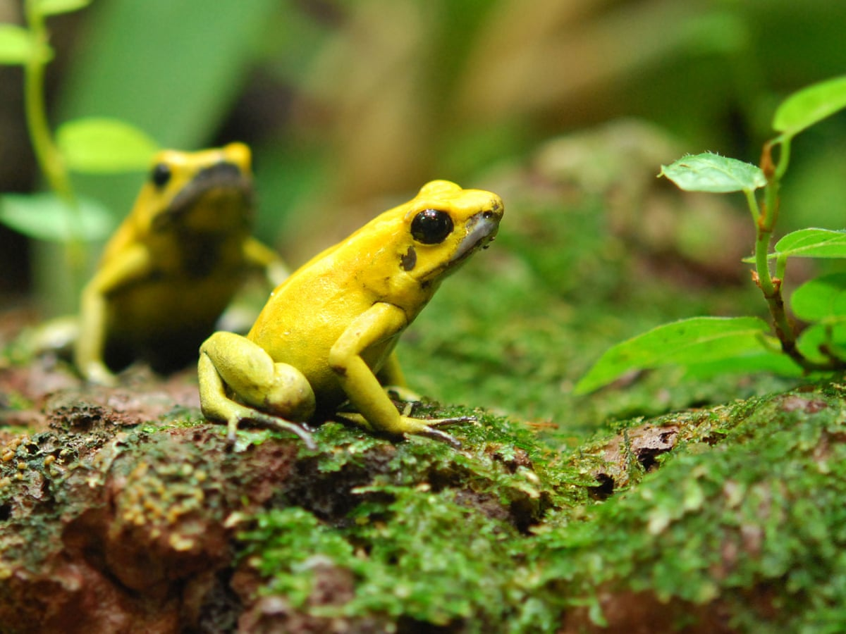Evolving Toxins Makes Frogs More Likely To Go Extinct Grrlscientist Science The Guardian