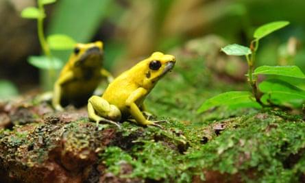 golden poison dart frog, Phyllobates terribilis