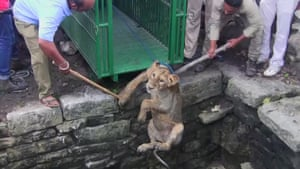 An Asiatic lion cub is rescued from a well in Amrapur, India