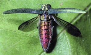 The emerald ash borer is a threat to trees in the US and Europe.