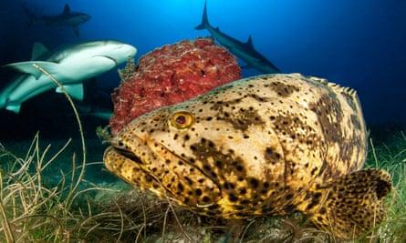 Goliath grouper (Epinephelus itajara) and Caribbean reef sharks (Carcharhinus perezi), Jardines de la Reina National Park, Cuba