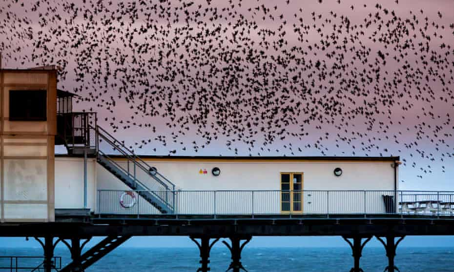A murmuration of starlings over Aberystwyth pier.