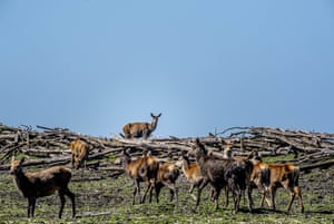 About 3,000 red deer, wild horses and cattle did not survive the last winter.