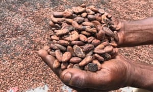 Cocoa is mostly grown on small plots of land by individual farmers