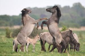 Konik ponies in Cambridgeshire