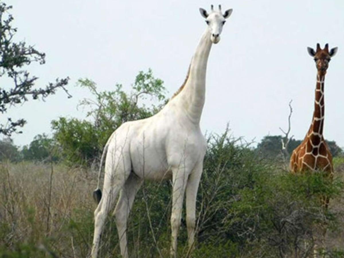Kenya's rare white female giraffe 'killed by poachers' | Kenya | The  Guardian