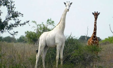 The rare white giraffe, which has been killed by poachers in Kenya