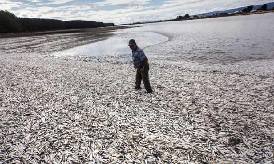A fisherman on a beach blanketed with dead sardines in Temuco, Chile. In coastal regions, pollution can cause algal blooms and when the algae decompose oxygen is sucked out of the water.
