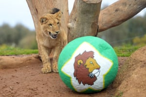 Lion cubs play with specially made piñatas filled with treats at Werribee Open Range Zoo, Melbourne, Australia