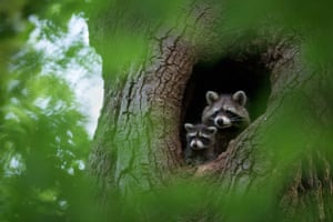Raccoons in hole in tree