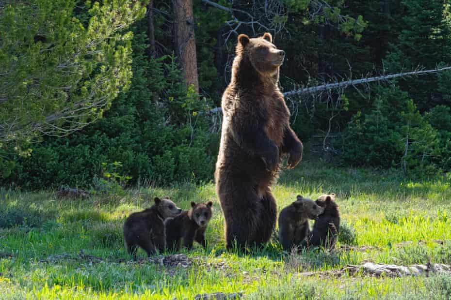 Grizzly 399 stands to get a better look at the growing crowd of bear watchers while her four cubs play.
