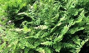 Royal fern (Osmunda regalis).